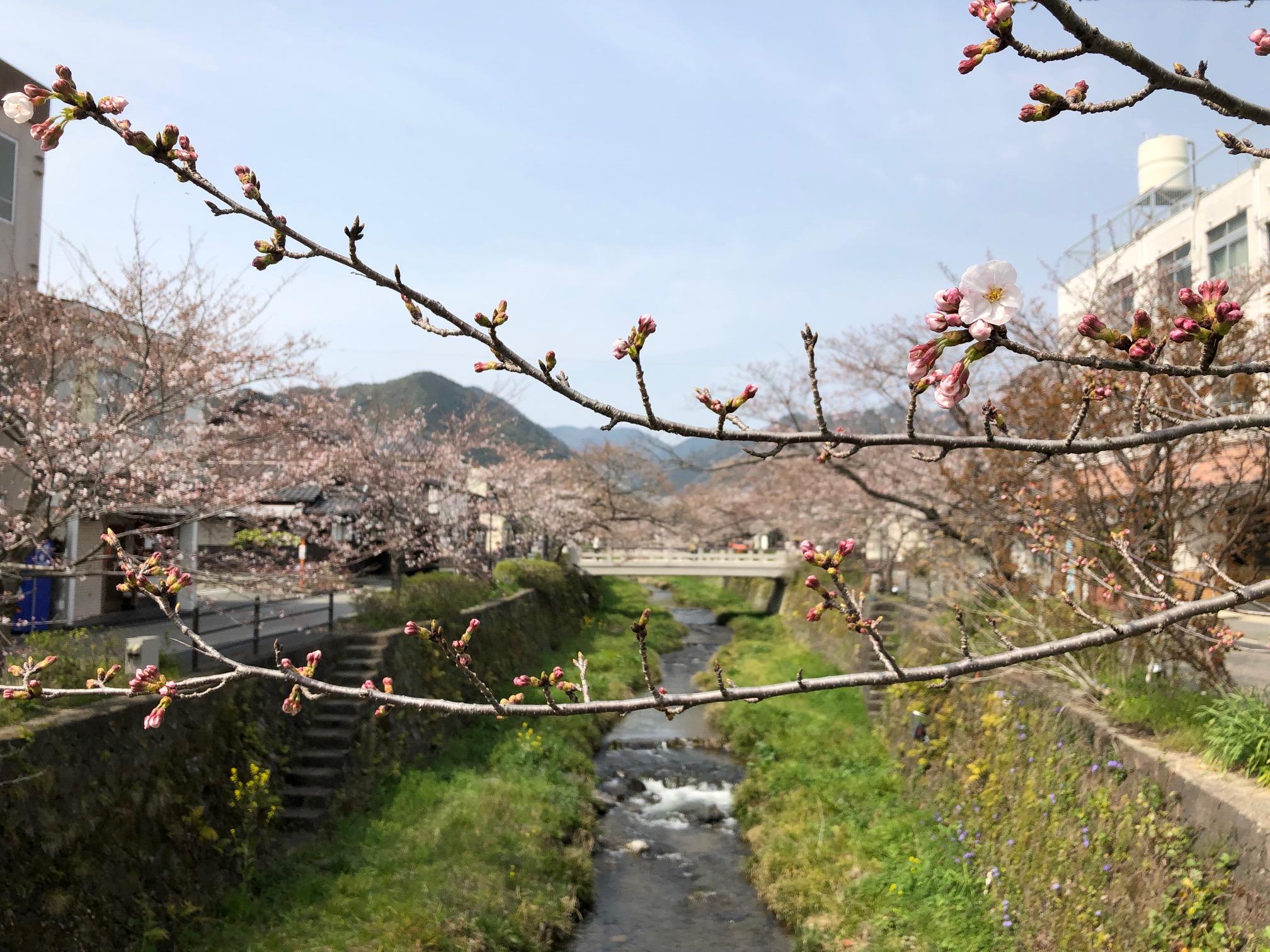 画像:平成最後の桜