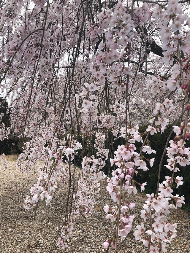 画像:桜の季節