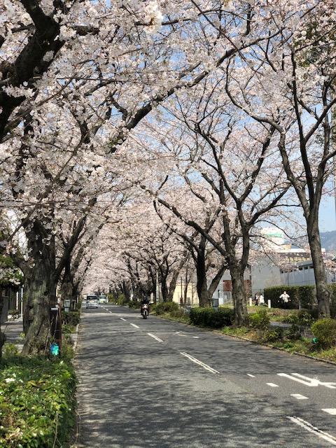 画像:周南の桜