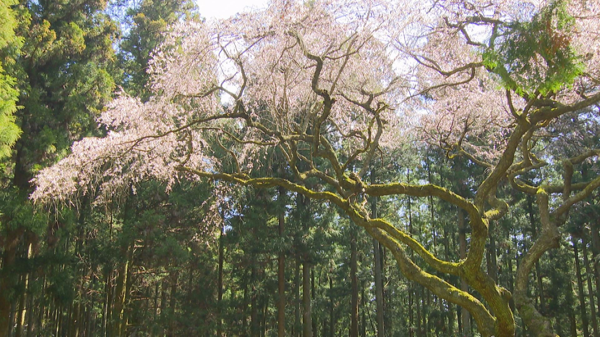 画像:春爛漫